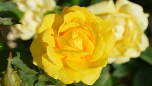 yellow-rose-630_400